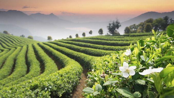 Organic Nature Tea Leaf