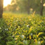 Cancer Prevention and Tea influences