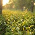 Cancer Prevention and Tea influences