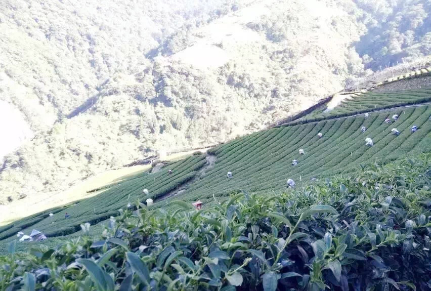dayuling-taiwan-oolong-tea