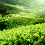 The planting factors of effect with tea quality