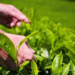 the process of picking tea and making tea
